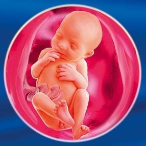 24 неделя Календарь беременности